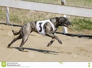Running Racing Greyhound Dog On Racing Track Editorial ...