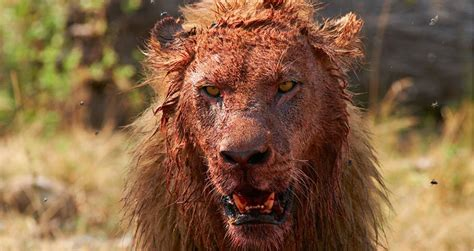 man left   head  lion attack tiger tale