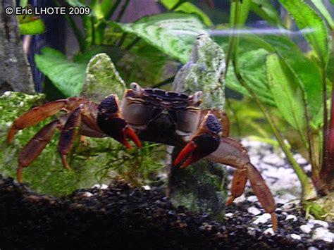 phototh 232 que molusques invertebres crabe d eau douce 20120822213315 jpg