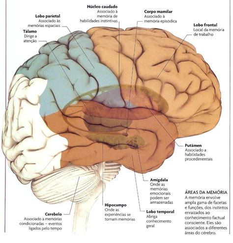 lade bulbo neuroci 234 ncias em benef 237 cio da educa 231 227 o mem 243 ria e