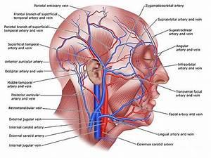 Superficial Temporal Artery Art | Fine Art America