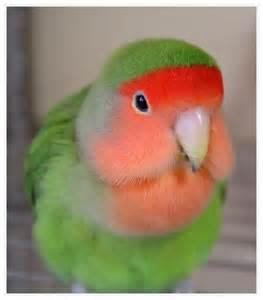 Peach-faced Love Birds Cute