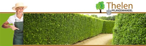 portugiesischer kirschlorbeer hecke heckenpflanzen thelen portugiesischer kirschlorbeer thuja smaragd eibe heckenpflanzen