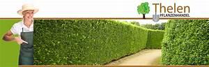 Thuja Smaragd Wachstum : heckenpflanzen thelen portugiesischer kirschlorbeer ~ Michelbontemps.com Haus und Dekorationen