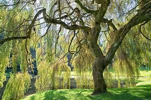 Weeping Willow Information - Learn About Caring For A ...  Weeping