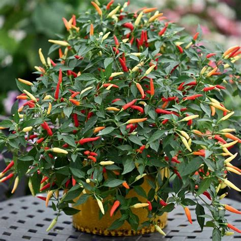 edible ornamental plants ornamental pepper homebody pinterest