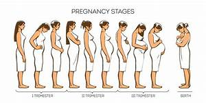 Stages Of Pregnancy  Pregnancy Trimesters