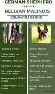 belgian shepard malinois dog breeds picture