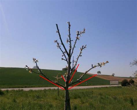 apfelbaum schneiden anleitung mirabellenbaum richtig schneiden apfelbaum schneiden