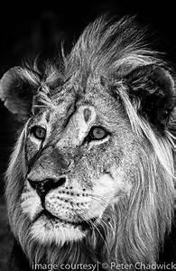 Male Lion,Black & White Photography