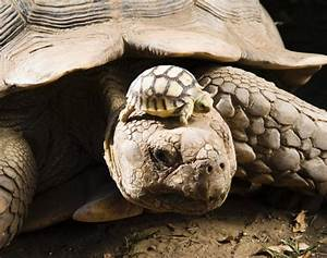 Tortoise with her baby - Photos - Baby animals with their ...
