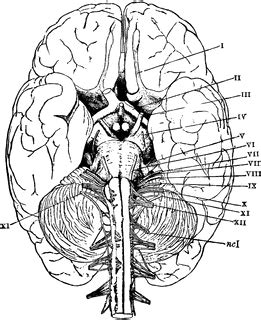 base   brain clipart