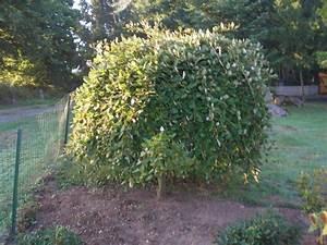 Taille Du Saule Pleureur : tailler un pleureur nain au jardin forum de jardinage ~ Melissatoandfro.com Idées de Décoration
