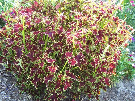 coleus garden coleus plants simply cannot be beat for a splash of color all summer