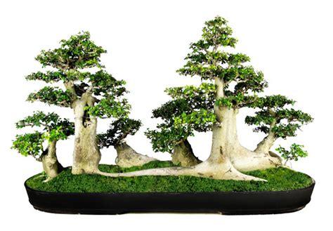 gambar bonsai serut terbaik  termahal infounikduniacom