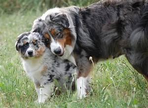 Miniature Australian Shepherd Compared To Australian ...
