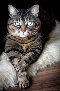 tabby cat names best 25 tabby cats ideas on tabby cat names