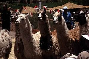 Overview Of Llamas And Alpacas