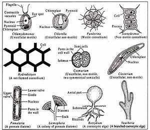Characteristics Of Algae  With Diagram