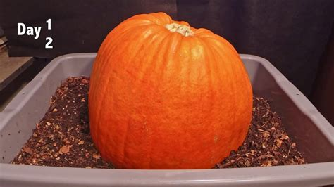 pumpkin wigglers vs compost worms worm vermicomposting timelapse insteading