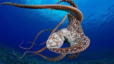 48 Octopus Wallpaper For Home On Wallpapersafari