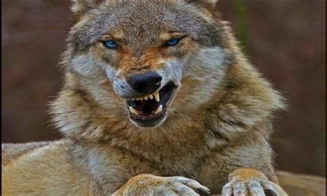 Angry Lone Wolf Wallpaper by Angry Wolf Other Animals Background Wallpapers On