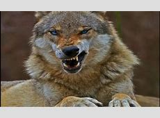 angry wolf Other & Animals Background Wallpapers on