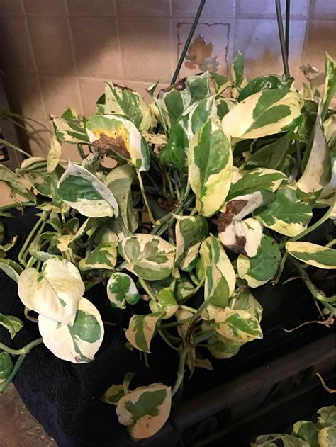 diagnosis   Why does my house plant have brown leaves