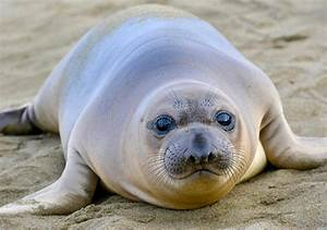 Elephant Seal, New Born Pup Or Infant, Big Sur, California ...