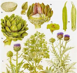 Globe Artichoke Cardoon Okra Vegetable Plant Flowers Food