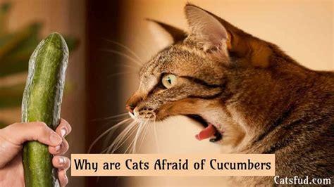 cats afraid cucumbers why catsfud