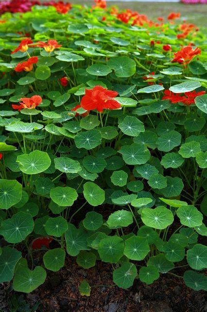 Garden Nasturtium by 17 Best Images About Nasturtiums On Gardens