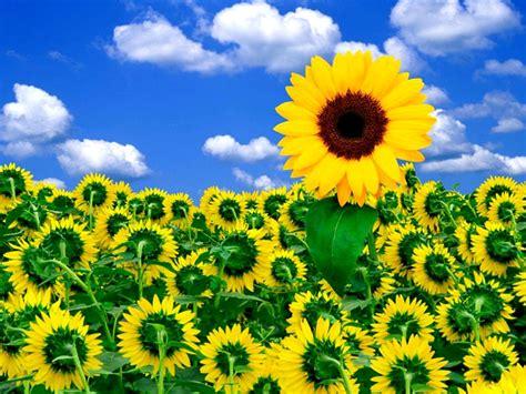 zonnebloemen desktop wallpapers bloemen flowers