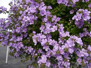 Top 28+ - Purple Bacopa - pink and purple bacopa flowers ...
