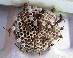 Détruire Un Nid De Guêpes : nids de gu pes frelons ~ Melissatoandfro.com Idées de Décoration