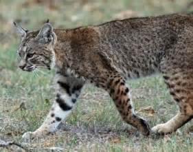 Bobcat Animal Information