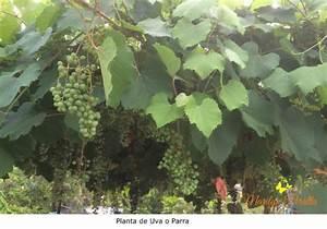 Uva o Parra Árboles y Flores en República Dominicana