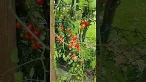 Planter Des Graines De Tomates : planter des tomates l 39 envers youtube ~ Dailycaller-alerts.com Idées de Décoration