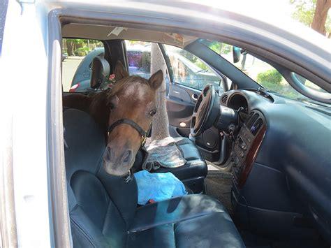 miniature service horses kjzz horse animals minivan disabled inside rides mountain