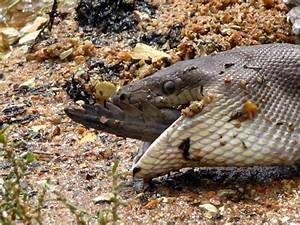 Giant snake eats crocodile after a long time fight in ...