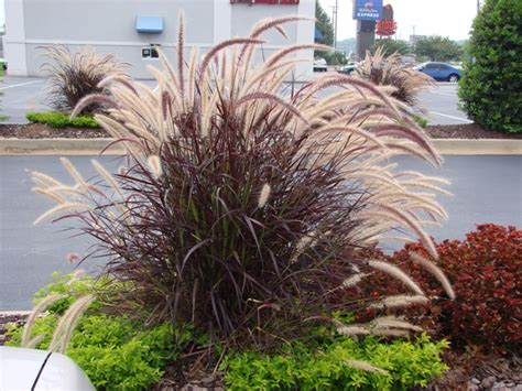 is purple grass a perennial or annual purple fountain grass don t sing the purple fountain grass blues gardening outdoors