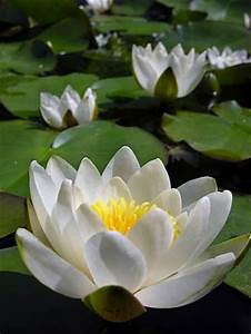 17 Best ideas a... White Water Lily Quotes