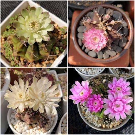 #gymnocalycium #ยิมโน #แคคตัส #กระบองเพชร #cactus ในปี 2021 | พืชอวบน้ำ, กุหลาบ, บอนไซ