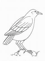 Coloring Pages Crows Printable Crow Birds Mycoloring Recommended sketch template