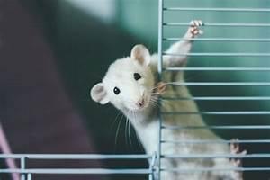 Homemade Rat Cage Pet Rat Cages Build A Rat Cage