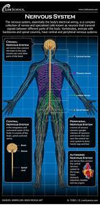 Nervous System  Facts  Function  U0026 Diseases  With Images
