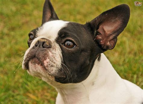 Health Issues More Commonly Seen In The Boston Terrier