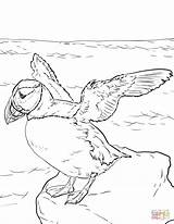 Coloring Puffin Pages Atlantic Puffins Printable Fun Drawing Categories sketch template