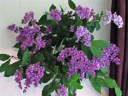 Image result for pictures of blooming lilacs