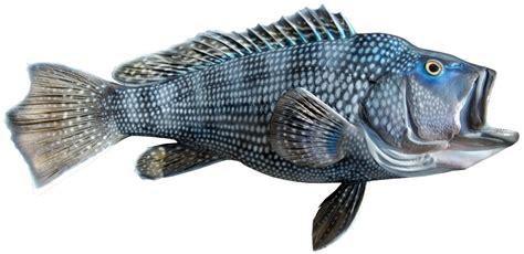 sea bass fish black sea bass mounts by king sailfish mounts
